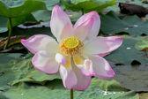 Wild lotus v velké laguny