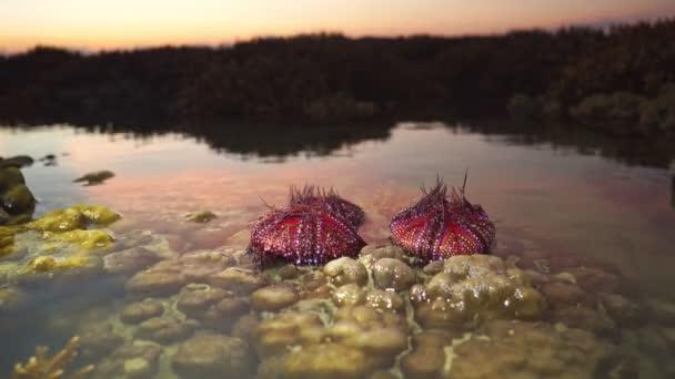 Zahlreiche schön gemusterte rote Seeigel werden von den Wellen des Korallenriffs angespült.