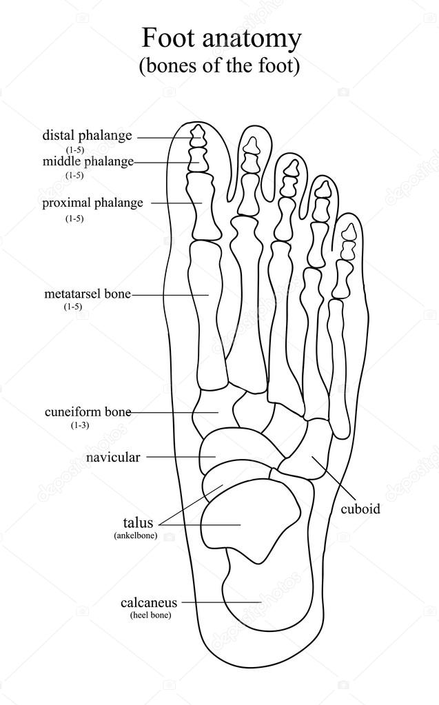 Skeleton Foot Drawing Anatomical Drawing Of The Foot Stock Vector C Olenkaukr 117589082