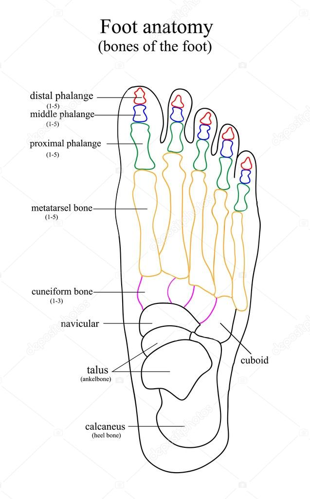Anatomical drawing of the foot — Stock Vector © OlenkaUkr #117857866