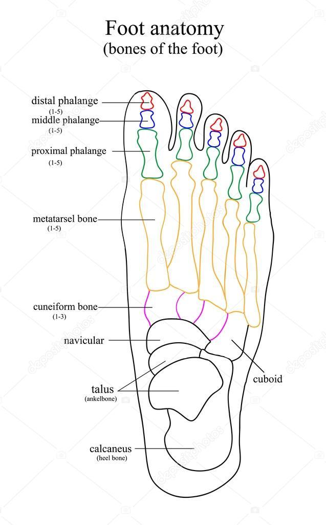 Groß 5. Finger Anatomie Bilder - Anatomie Von Menschlichen ...
