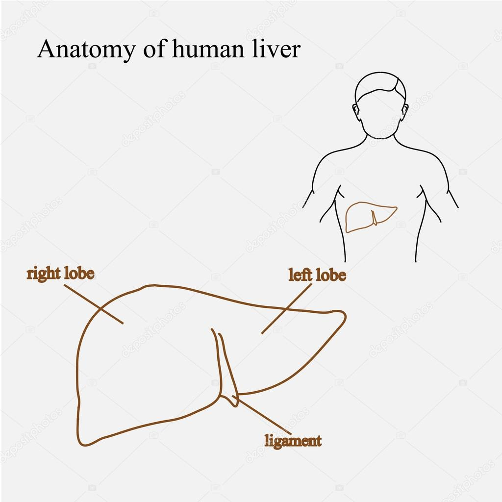Human Liver In Body Illustration Location Of The Liver Liver