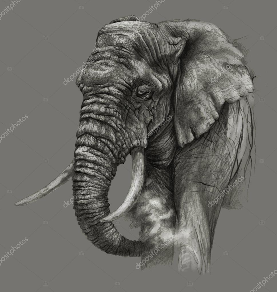 L phant d afrique isol sur fond gris dessin au crayon photographie firsart 114233662 - Dessins d elephants ...