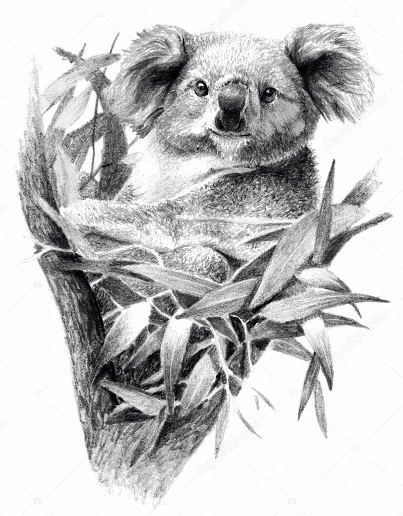 Koala Bear Isolated On White Background Pencil Drawing Monochrome