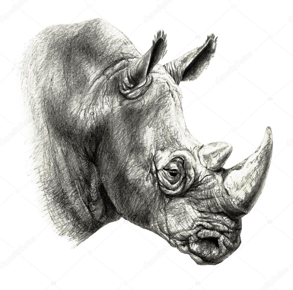 dibujo a l u00e1piz cabeza de rinoceronte en perfil  aislado rhino clipart animal picture rhino clipart without background