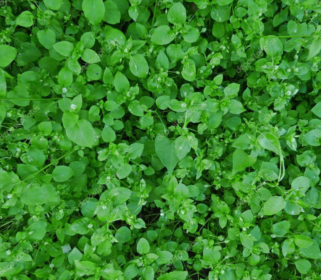 Pequeñas hojas verdes con unas flores blancas — Fotos de Stock ...
