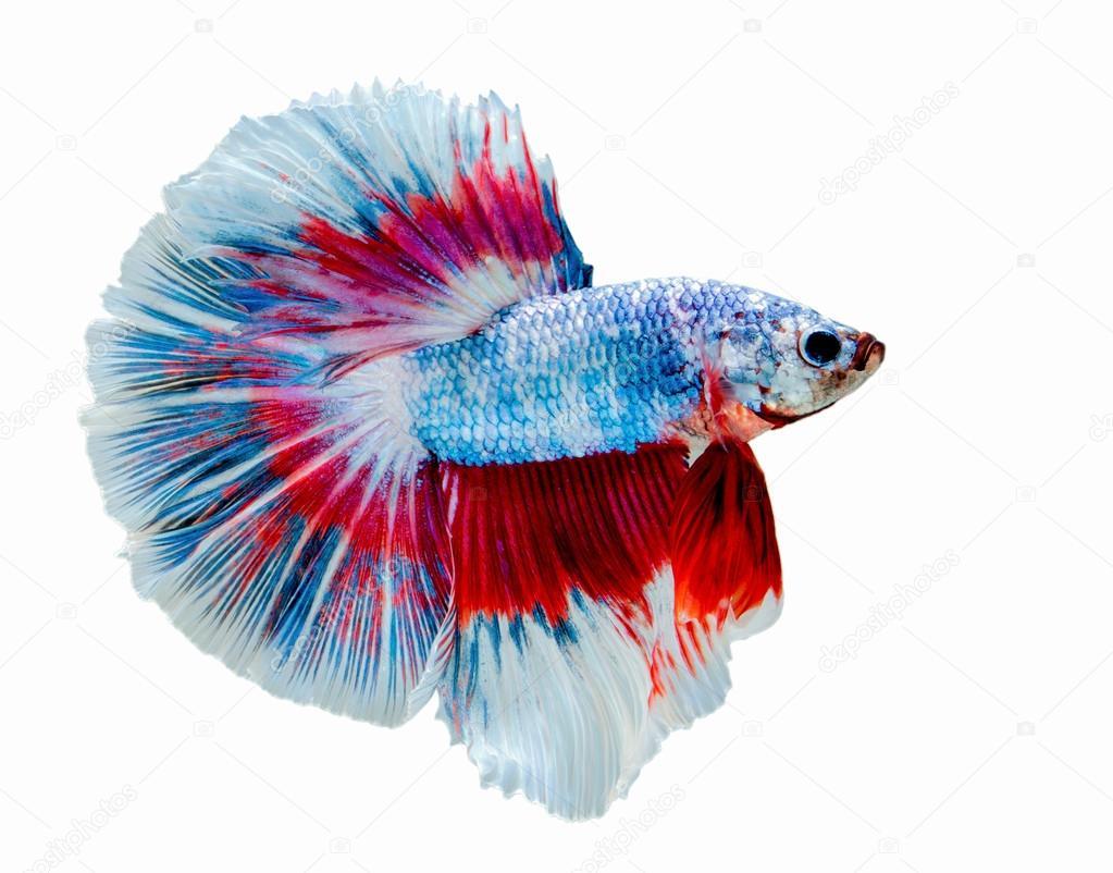 macro Betta fish of siam — Stock Photo © picstyle99 #113619926