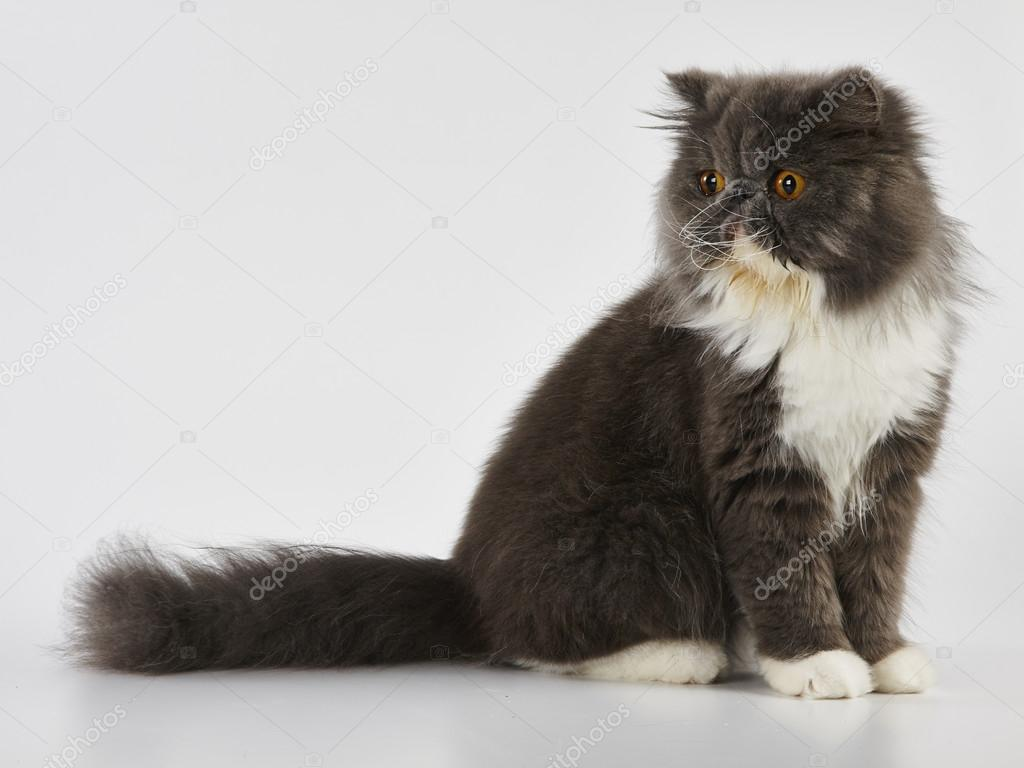 Blue and white persian cat standing on white background — Stock