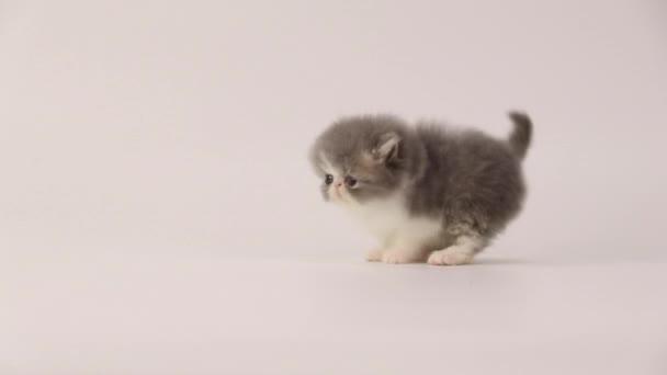 Kék és fehér perzsa cica macska lépést hátra, és ezen a környéken: menetesztergálás