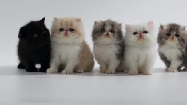 group of persian kittens cats looking left and right
