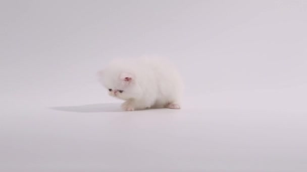 white persian kitten cat playing its shadow and searching around
