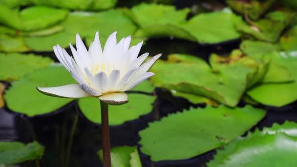 Bílý lotos v koi rybník (s zvuky přírody)