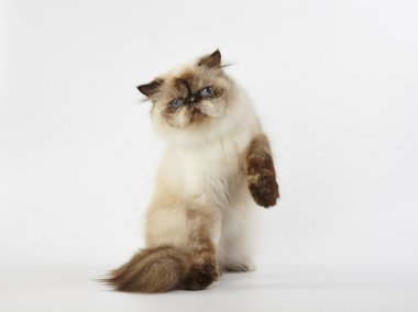 seal point himalayan persian cat on white background