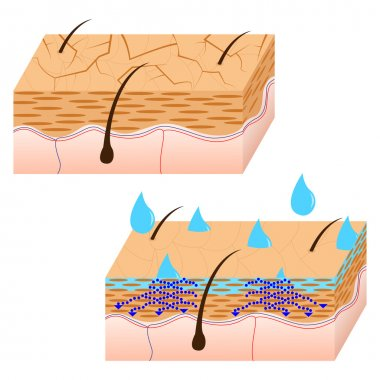 Skin hydration sectional view.