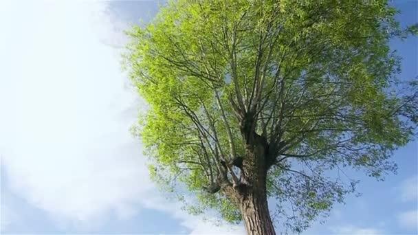 Velký zelený strom v slunečný den v Číně