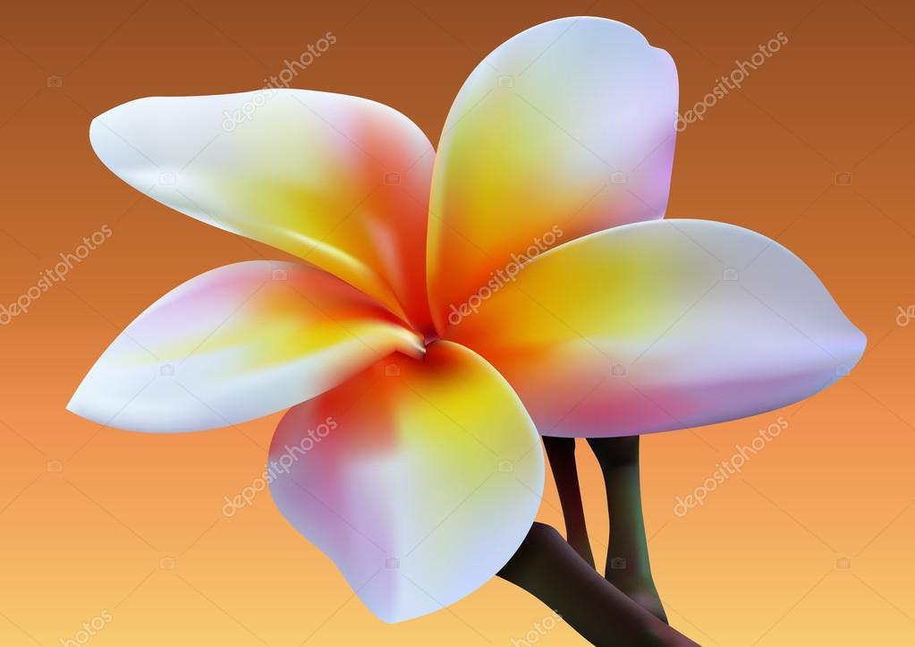 Stock Photo - Frangipani flower