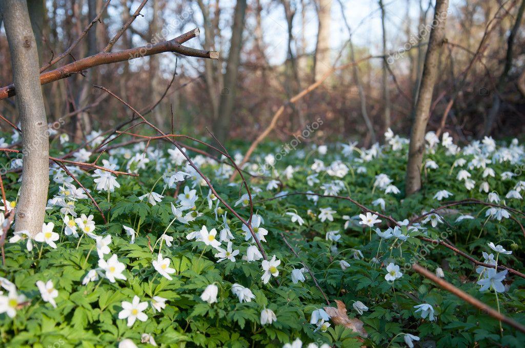 Fiori Bianchi Bosco.Spring Wood Full Of White Flowers Stock Photo C Monika W20 Wp Pl
