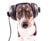 Jack Russell teriér se sluchátky na bílém pozadí