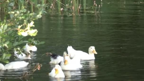schöne Ente schwimmt im See
