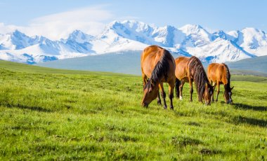 Horses under the snow mountain, pasture on the plateau.