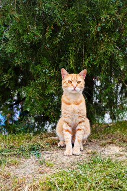 Domestic ginger cat sitting under the tree and watching