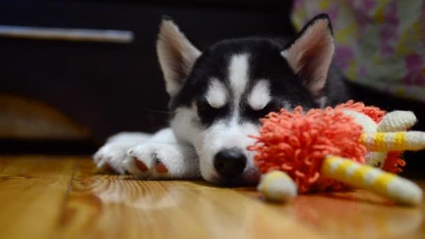 Roztomilé husky štěně spí na podlaze
