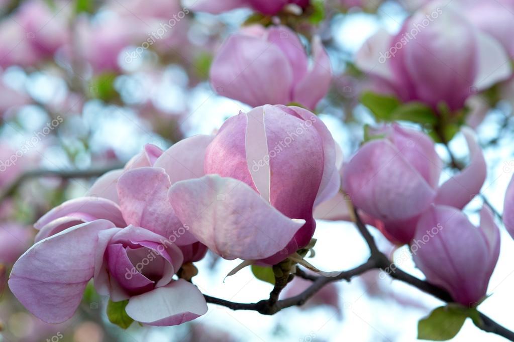 Bloomy magnolia tree with big pink flowers stock photo bloomy magnolia tree with big pink flowers photo by sasapanchenkoail mightylinksfo