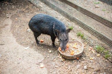 Wild boar eats feed