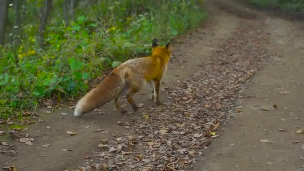 Red fox standing on a rural road