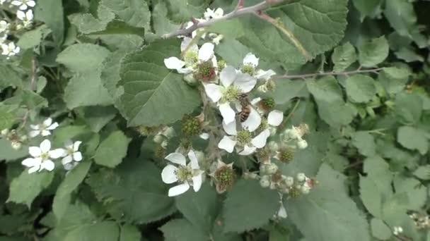Bee Pollinats fehér virág, gally, gyümölcs fa nyáron