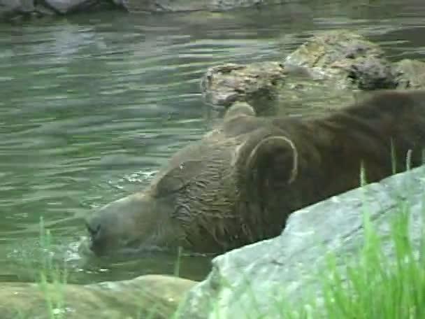 grizzly medve, állatkertben