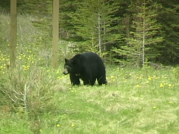 Černý medvěd, procházky v lese