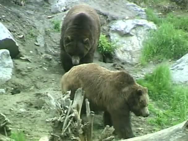 Grizzly medve az állatkertben