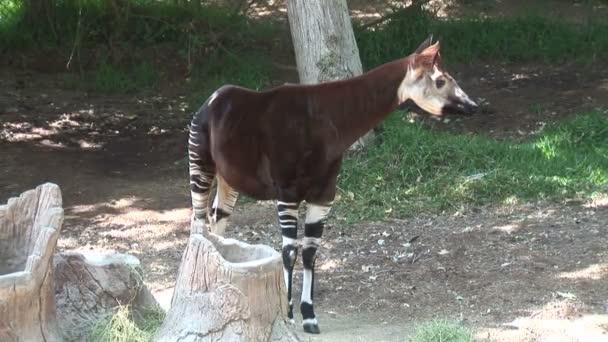 Kis Okapi zsiráf az állatkertben