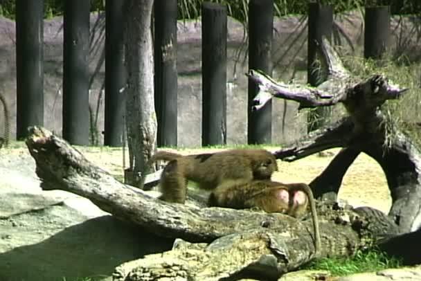 Wild baboon monkeys in zoo