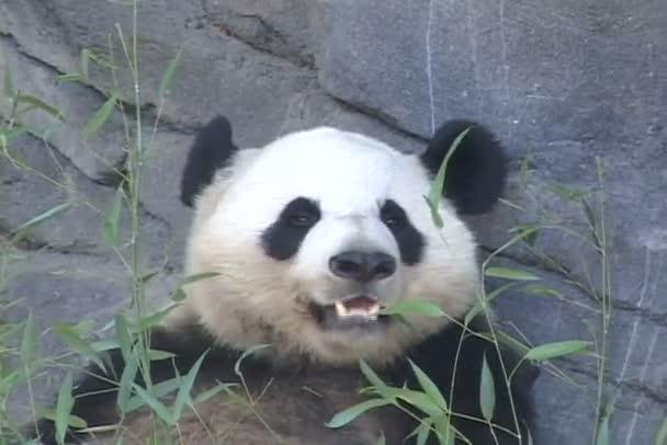 Panda eats leaves in zoo