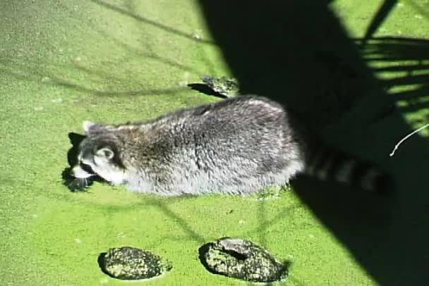 Raccoon swimming in swamp water