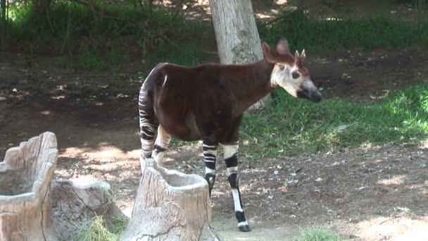 Malá žirafa Okapi v zoo