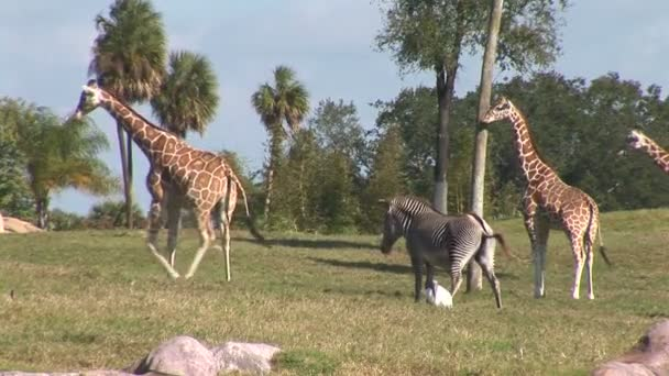Giraffes and zebras in national park