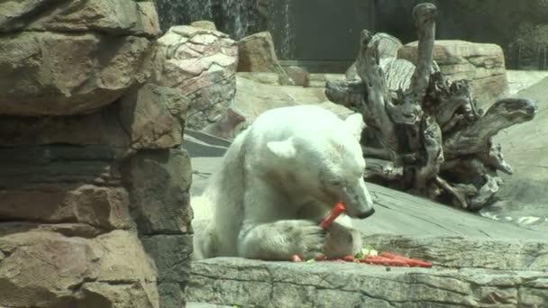 Polar Bear eats carrot