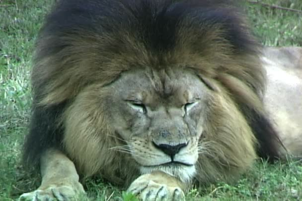 Lion lying on grass