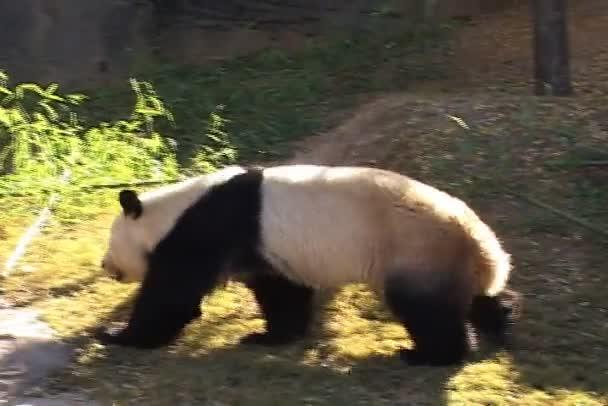 Big Panda Walks in zoo