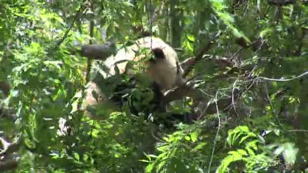 Panda lying on tree branch