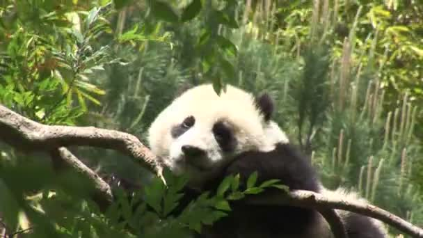 Panda lying on tree branch