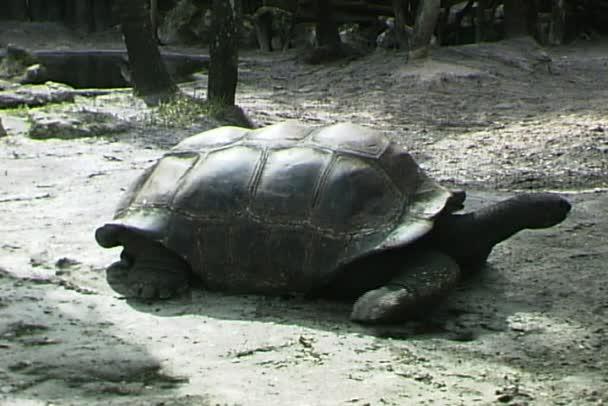 Walking vad teknős
