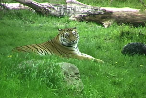 Sibiřský tygr ležící na trávě