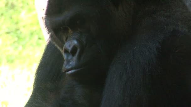 Big Gorilla Monkey