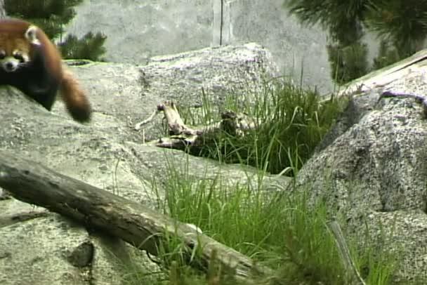 Red Panda in zoo
