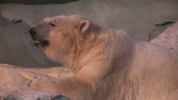 Wild ledních medvědů v zoo