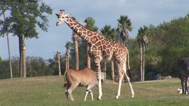 Žirafa, kozorožci a zebra v národním parku